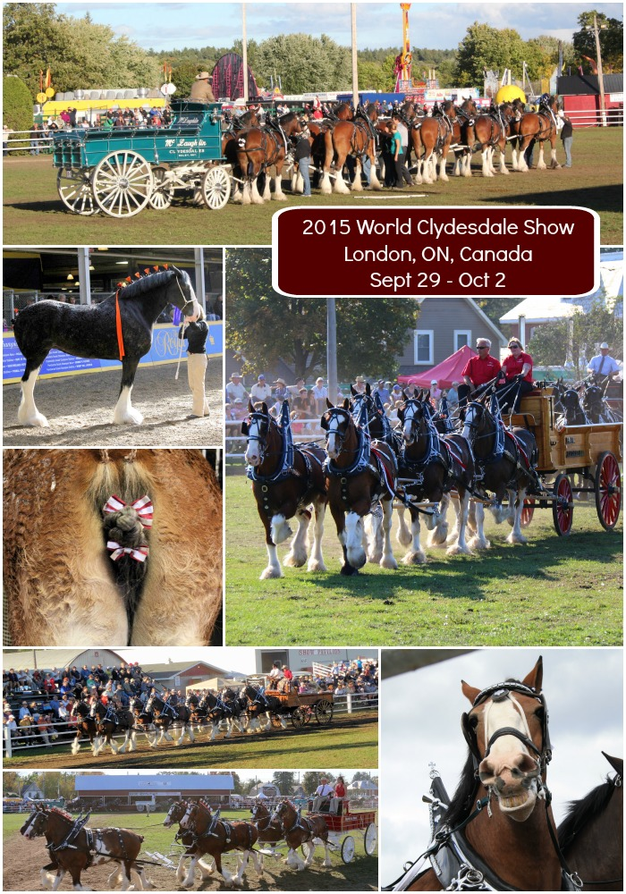 it's all about me; 2015 world clydesdale show; clydesdale horses; london, ontario; mares; geldings; stallions;